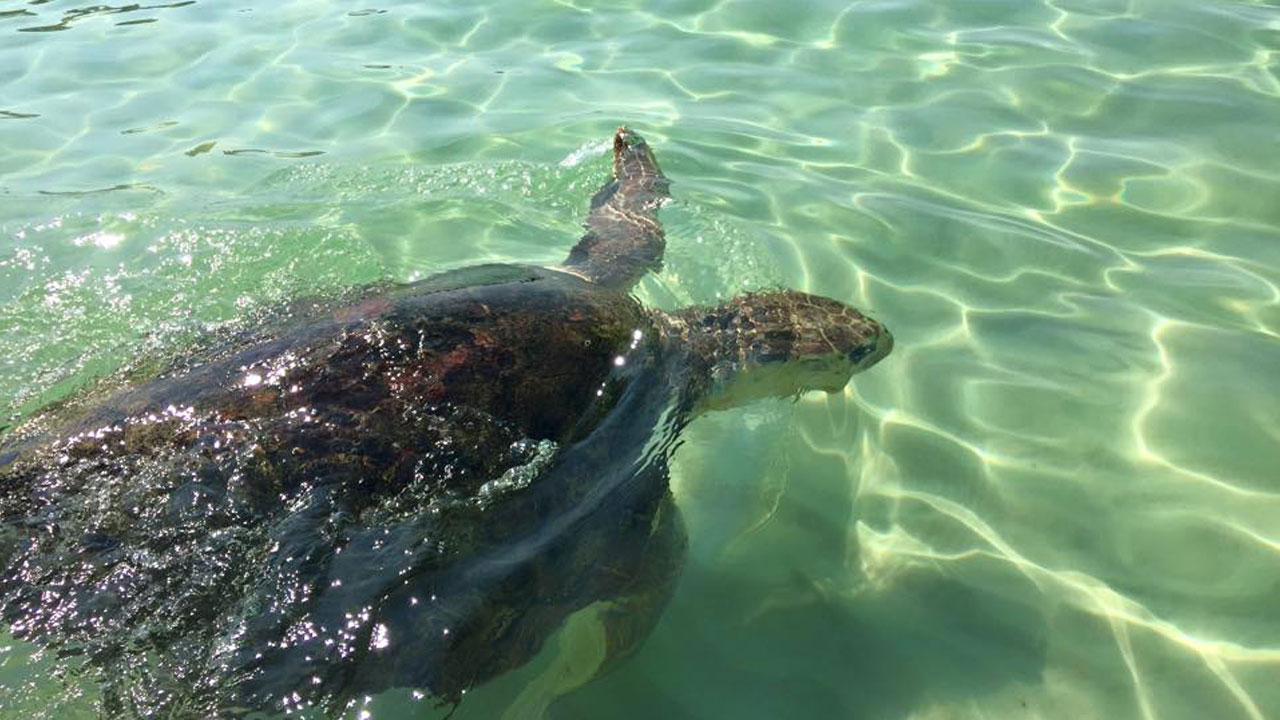 gulfarium-sea-turtles-release-day-x