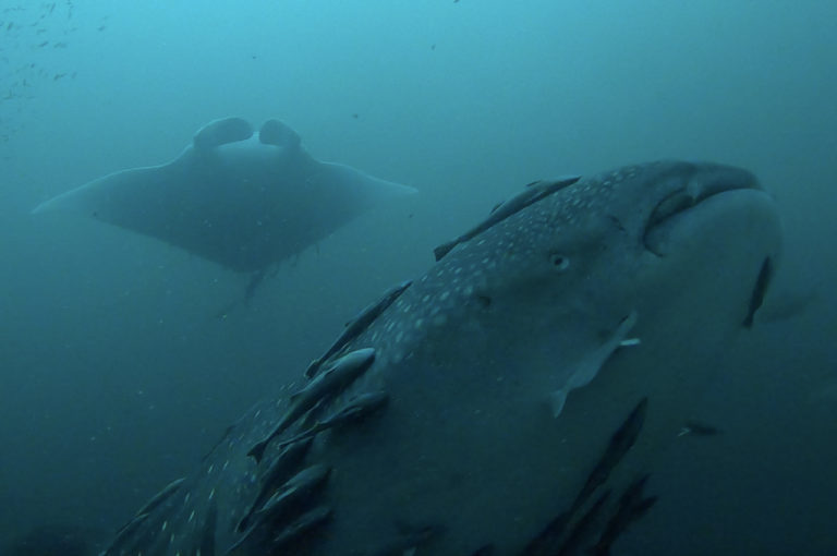 Whale shark and manta ray spotted at Liberty Ship artificial reef in Destin, Florida